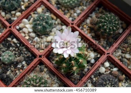 Single cactus flower in succulent collection: blooming gymnocalycium anisitsii among gymnocalycium, parodia, echinopsis and atsrophytum - stock photo