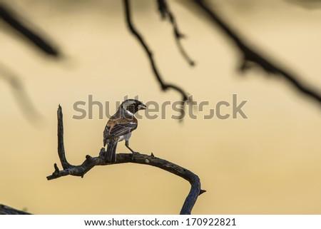 Single Cape Sparrow in a Golden Surrounding - stock photo