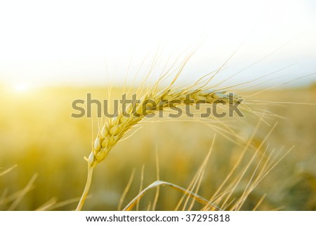 single cereal with sun in evening - stock photo