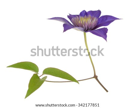 single clematis flower isolated on white background - stock photo