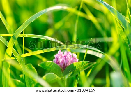 Single clover flower on the grass background - stock photo