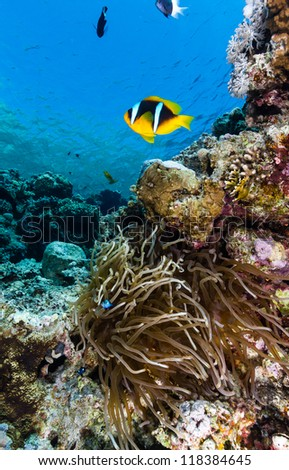 Single Clownfish next to it's host aneomone in the Red Sea - stock photo