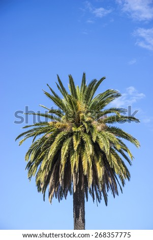 Single coconut palm against an azure blue sky with a few wispy clouds - stock photo