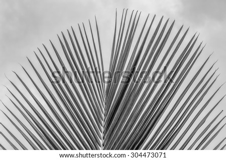 Single coconut palm leaf/frond with a cloudy sky background in tones of black, white and gray/grey and with the point of focus on the center of the palm leaf. - stock photo