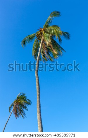 Single coconut tree blown in strong wind isolated on blue sky with background tree A