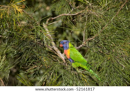 Single colorful Lorikeet perched on a tree in an animal farm in Brisbane,Australia