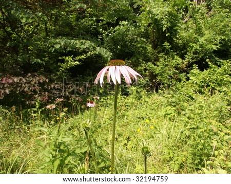 Single coneflower - stock photo