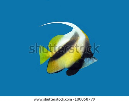 single coral reef's exotic fish - bannerfish isolated on blue background - stock photo