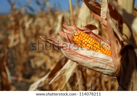 Single corn cob in corn field in Serbia affected by drought - stock photo