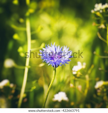 Single Cornflower at Geen Meadow