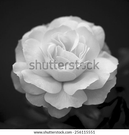 Single cream rose on dark background. Natural beauty of the neat flower in the black and white square image.  - stock photo