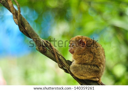 Single cute tarsier with big open eyes sits in the tree . Shot in Tarsier Preservation Museum, Bohol, Philippines. - stock photo