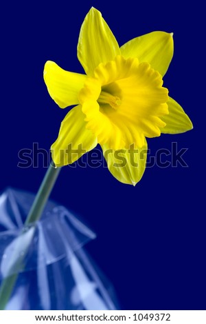 Single daffodil flower in on the dark blue background. - stock photo