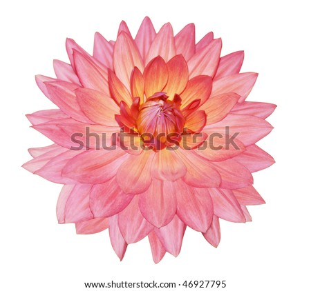 Single Dahlia Flower isolated with clipping path - stock photo