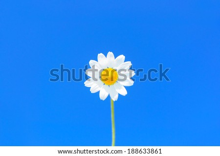 Single daisy against uniformly bright blue sky, selective focus, copyspace available, central composition