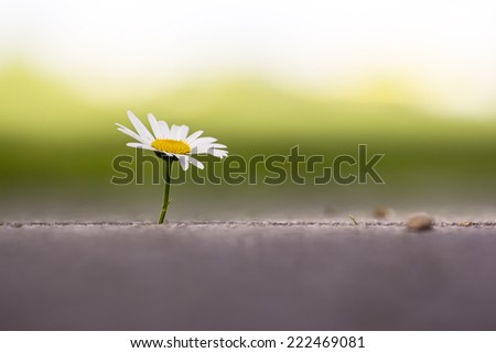 Single daisy flower in the concrete. - stock photo