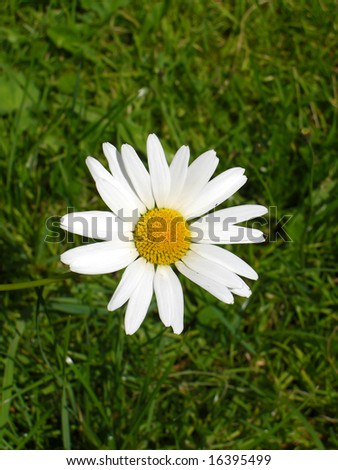 Single daisy flower on grass background - stock photo