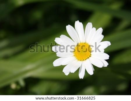 Single daisy flower on green background - stock photo