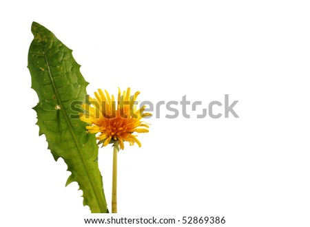 Single dandelion flower with leaf on white with space for copy - stock photo