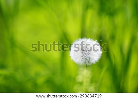 Single dandelion on green grass background - stock photo