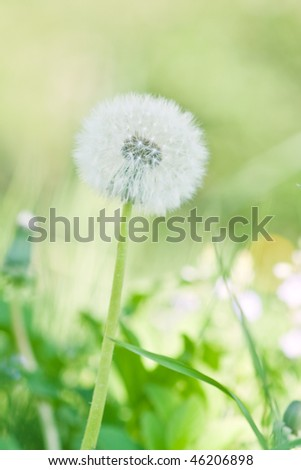 single dandelion on green grass background