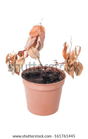 Single dead plant in pot isolated on white background - stock photo
