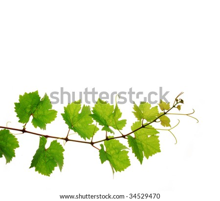 Single decorative branch of fresh grapevine on white background - stock photo