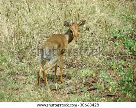 Single Dik Dik looking back at me - stock photo