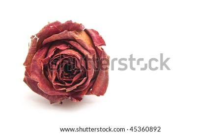Single Dried Rose on White with Text Area - stock photo