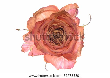 Single dry rose isolated on white background - stock photo
