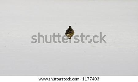 single duck in winter scene - stock photo