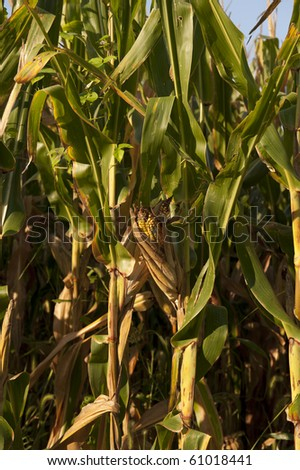 single ear of corn in a field ready for harvest - stock photo