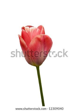 Single Early tulip Christmas Dream, isolated over white