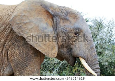 Single elephant walking in a road - stock photo