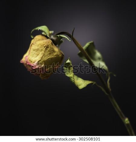 Single faded rose on black background - stock photo