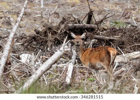 Single Female Red Deer standing amongst felled trees  acting as camouflage in the Scottish Highlands - stock photo
