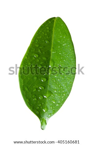 Single ficus leaf with droplets close up isolated on white background