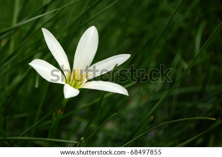 Single flower bud of white rain lily (Zephyranthes candida) on shallow depth of filed background - stock photo