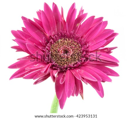 single flower flower pink isolated on white background - stock photo