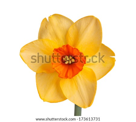 Single flower of the orange and red, small-cup daffodil cultivar Red Diamond isolated against a white background - stock photo