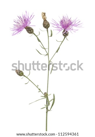 single flower purple cornflower on white background