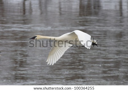 Single Flying Trumpeter Swan - stock photo