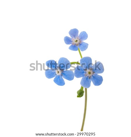 Single forget-me-not flower isolated on white - stock photo