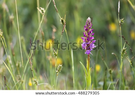 Single Fragrant orchid (Gymnadenia conopsea) amongst other vegetation at coastal meadow at Helgeland coast, Norway.
