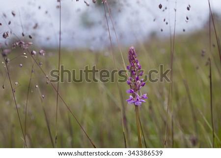 Single Fragrant orchid (Gymnadenia conopsea) growing at coastal meadow at Helgeland coast, Norway.  - stock photo