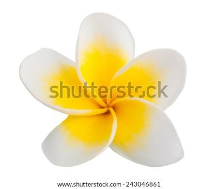 Single Frangipani flower  isolated on white background - stock photo