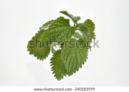 single fresh nettles for cropping