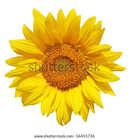 Single fresh sunflower isolated on white background - stock photo