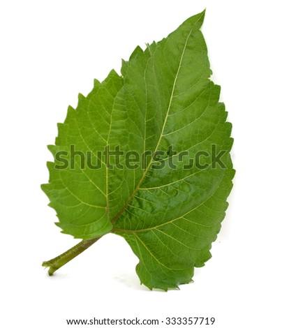 Single fresh sunflower leaf isolated on white - stock photo