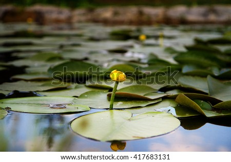 Single full bloom white lotus in the pond. - stock photo